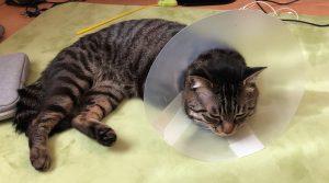 猫にエリザベスカラーが付いています